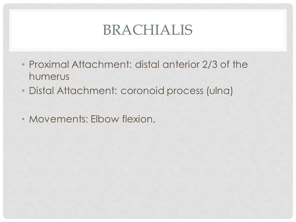 brachialis Proximal Attachment: distal anterior 2/3 of the humerus