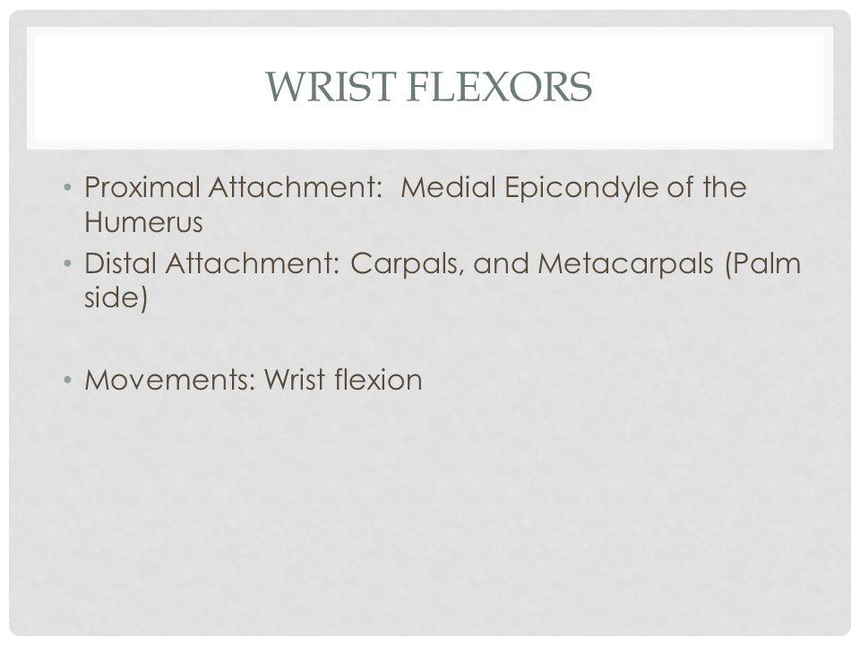 Wrist Flexors Proximal Attachment: Medial Epicondyle of the Humerus