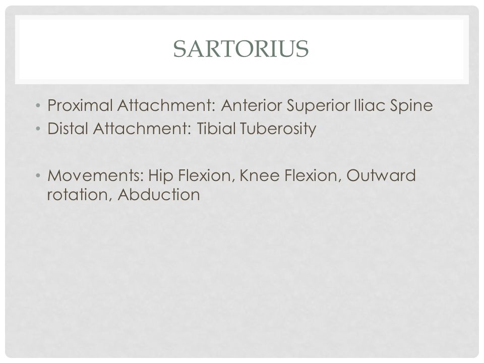 Sartorius Proximal Attachment: Anterior Superior Iliac Spine