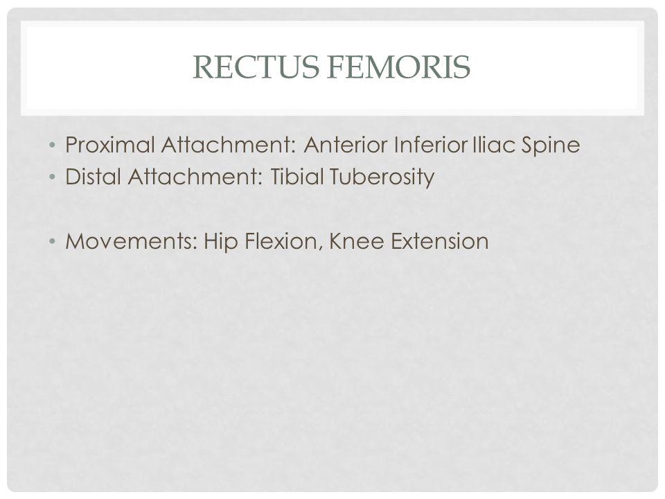 Rectus Femoris Proximal Attachment: Anterior Inferior Iliac Spine