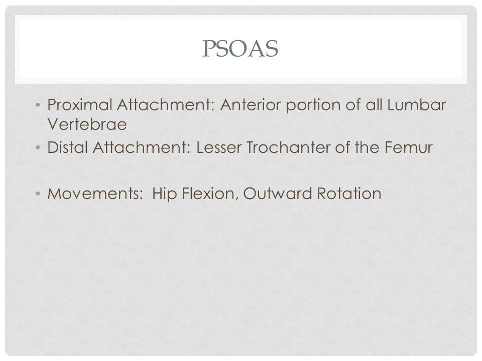 Psoas Proximal Attachment: Anterior portion of all Lumbar Vertebrae