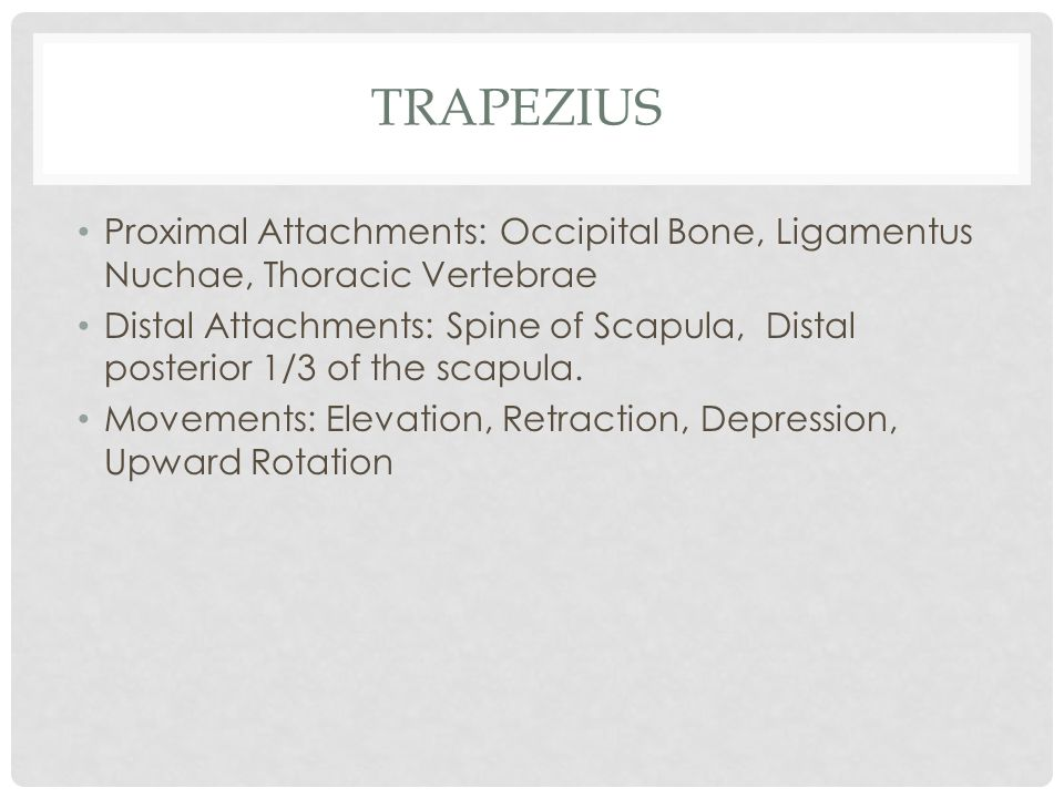 Trapezius Proximal Attachments: Occipital Bone, Ligamentus Nuchae, Thoracic Vertebrae.