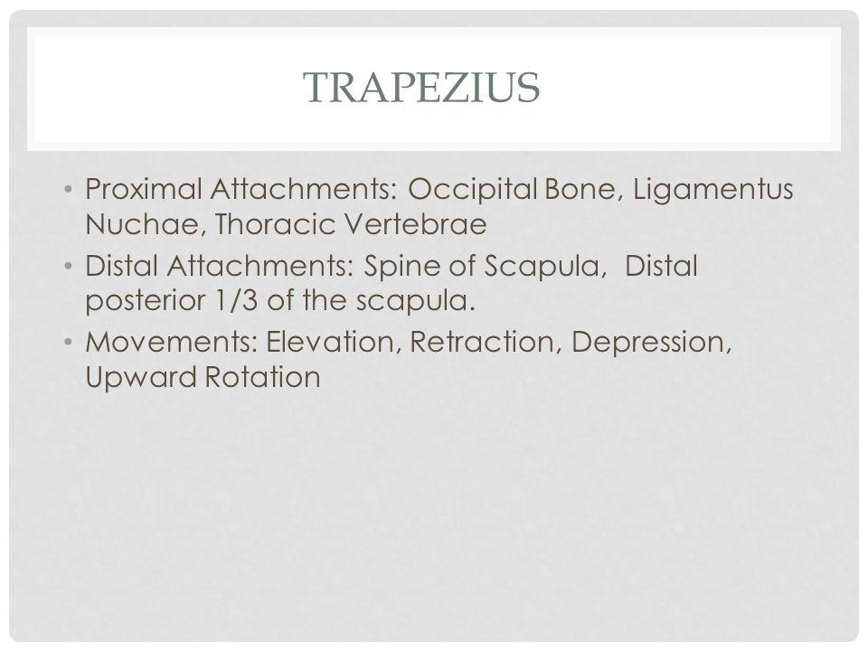 Trapezius Proximal Attachments: Occipital Bone, Ligamentus Nuchae, Thoracic Vertebrae.