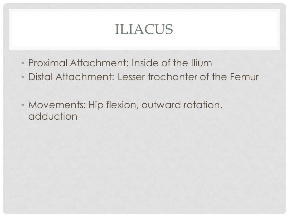 Iliacus Proximal Attachment: Inside of the Ilium