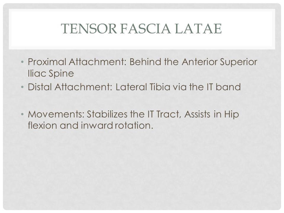 Tensor Fascia Latae Proximal Attachment: Behind the Anterior Superior Iliac Spine. Distal Attachment: Lateral Tibia via the IT band.