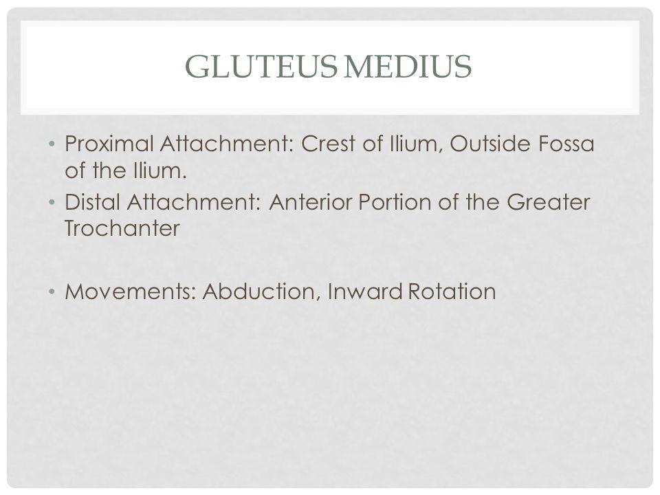 Gluteus Medius Proximal Attachment: Crest of Ilium, Outside Fossa of the Ilium. Distal Attachment: Anterior Portion of the Greater Trochanter.