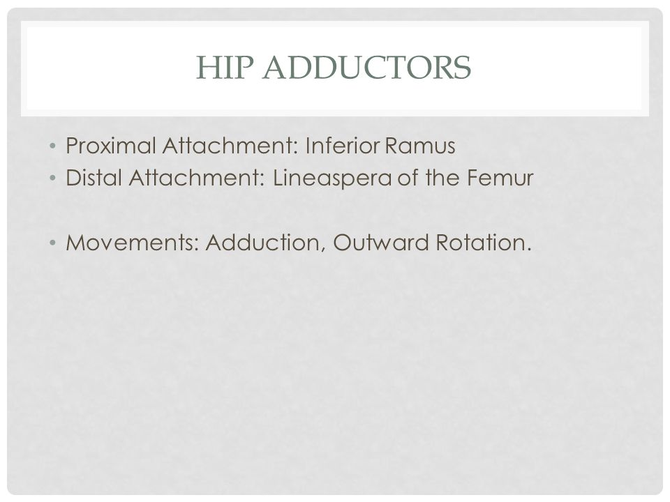 Hip Adductors Proximal Attachment: Inferior Ramus