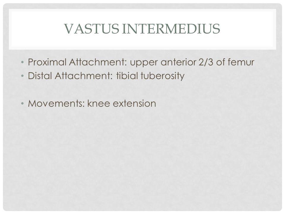 Vastus intermedius Proximal Attachment: upper anterior 2/3 of femur