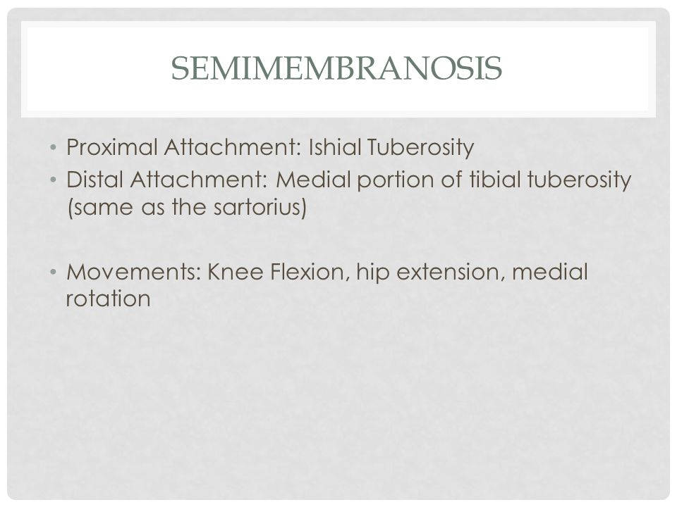 semimembranosis Proximal Attachment: Ishial Tuberosity