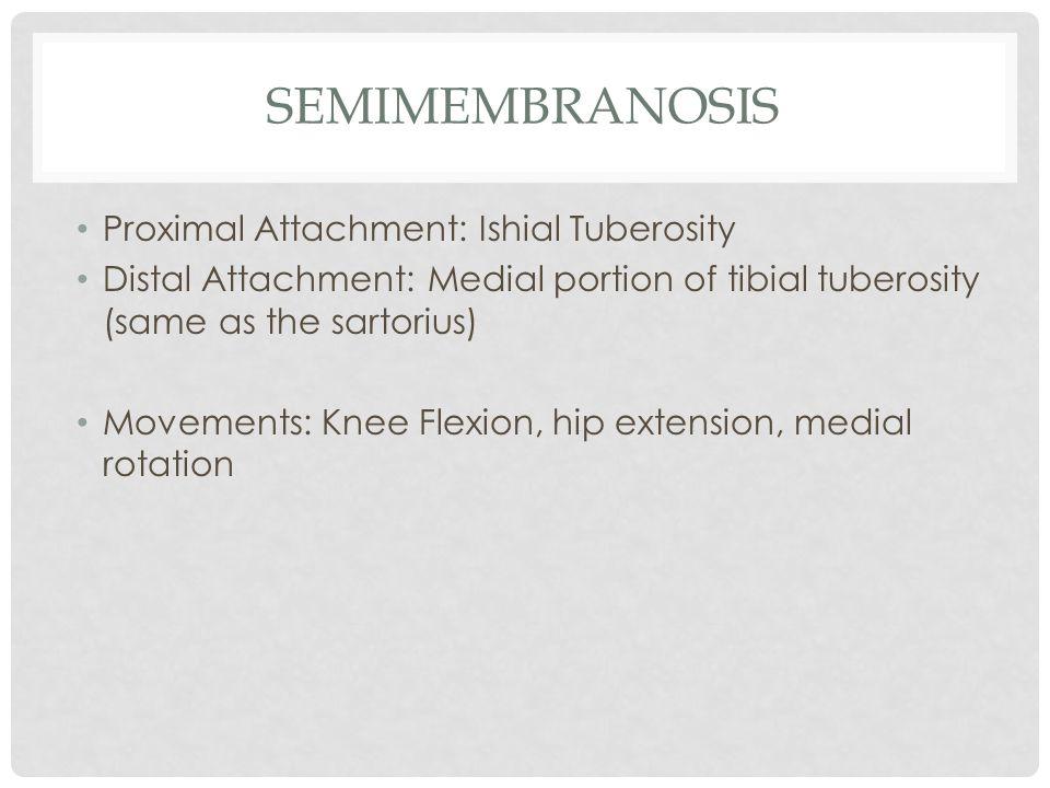 semimembranosis Proximal Attachment: Ishial Tuberosity