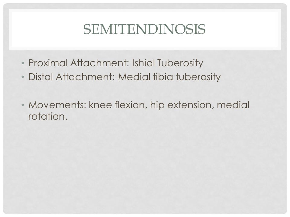 semitendinosis Proximal Attachment: Ishial Tuberosity