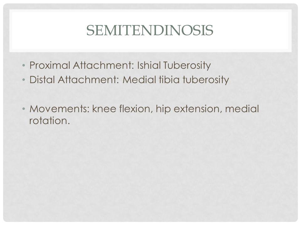 semitendinosis Proximal Attachment: Ishial Tuberosity
