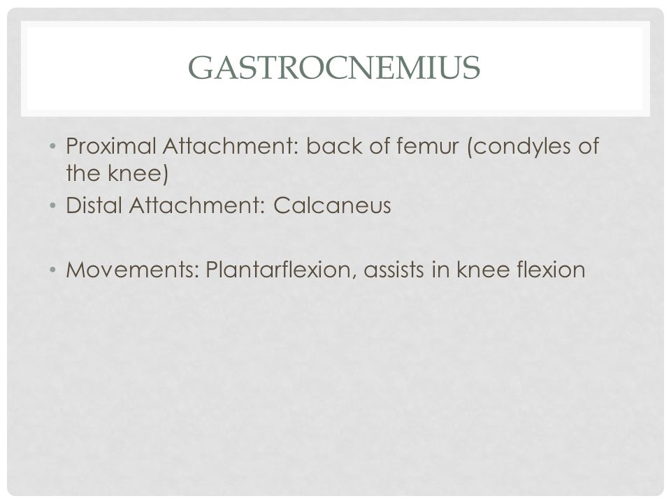 gastrocnemius Proximal Attachment: back of femur (condyles of the knee) Distal Attachment: Calcaneus.