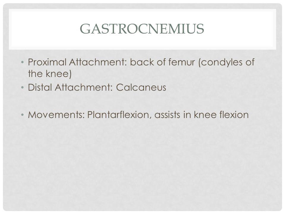 gastrocnemius Proximal Attachment: back of femur (condyles of the knee) Distal Attachment: Calcaneus.