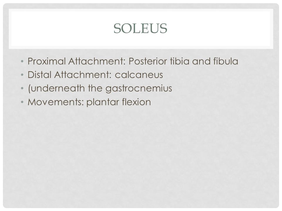 soleus Proximal Attachment: Posterior tibia and fibula
