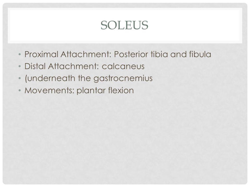 soleus Proximal Attachment: Posterior tibia and fibula