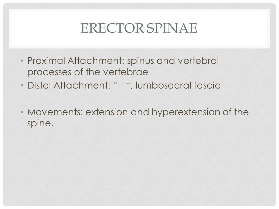 Erector Spinae Proximal Attachment: spinus and vertebral processes of the vertebrae. Distal Attachment: , lumbosacral fascia.