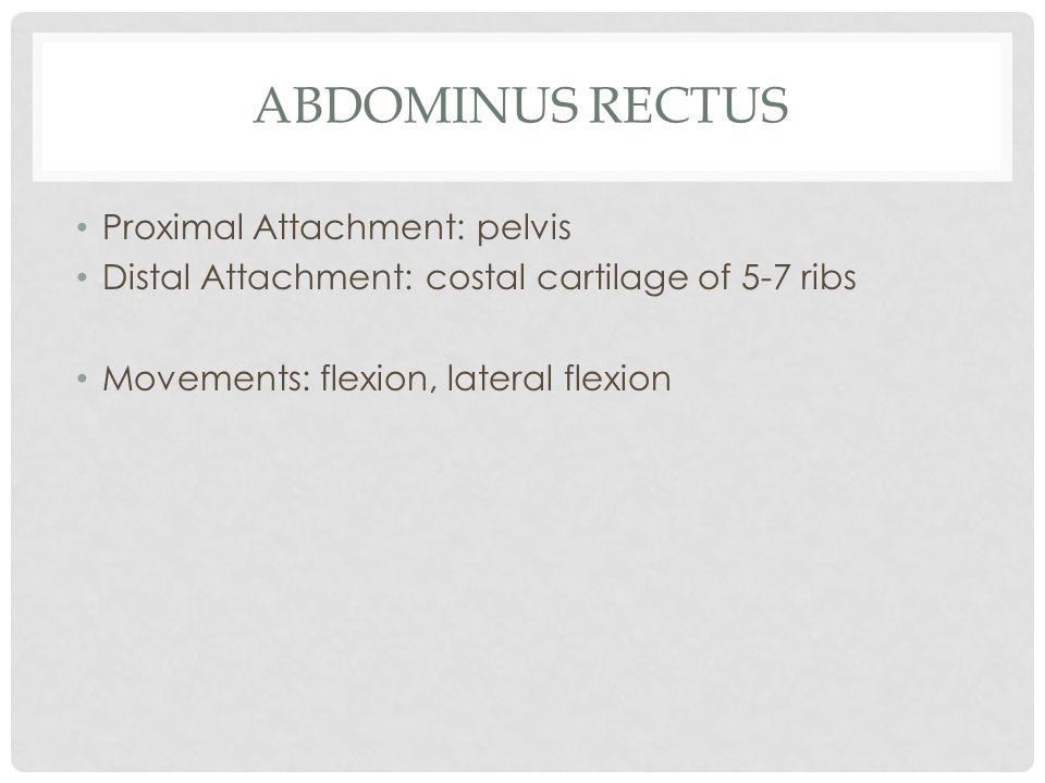 Abdominus Rectus Proximal Attachment: pelvis