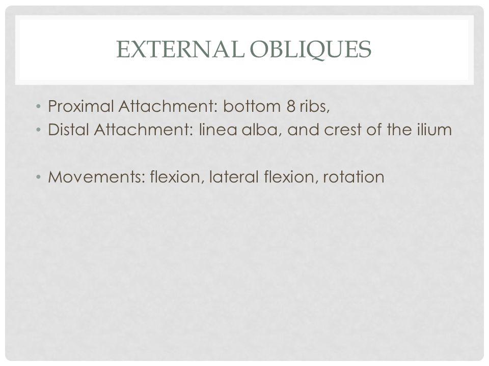 External obliques Proximal Attachment: bottom 8 ribs,