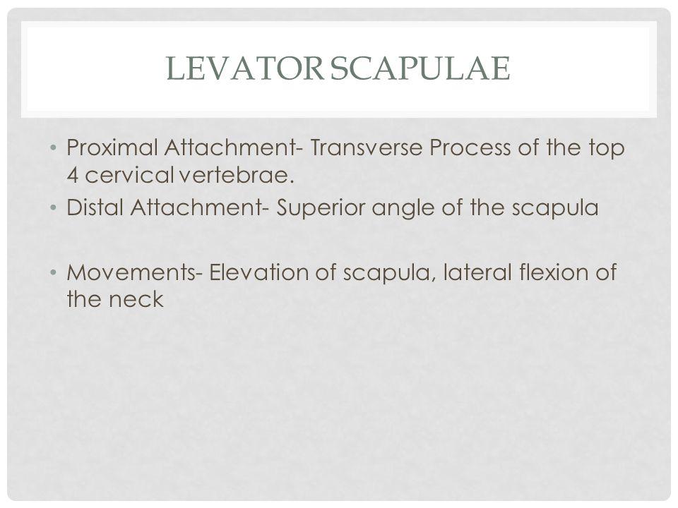 Levator scapulae Proximal Attachment- Transverse Process of the top 4 cervical vertebrae. Distal Attachment- Superior angle of the scapula.