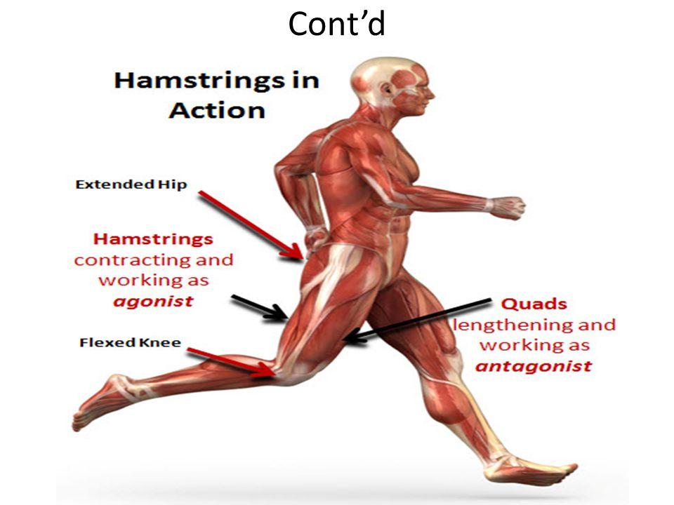 agonist antagonist relationship muscles in back