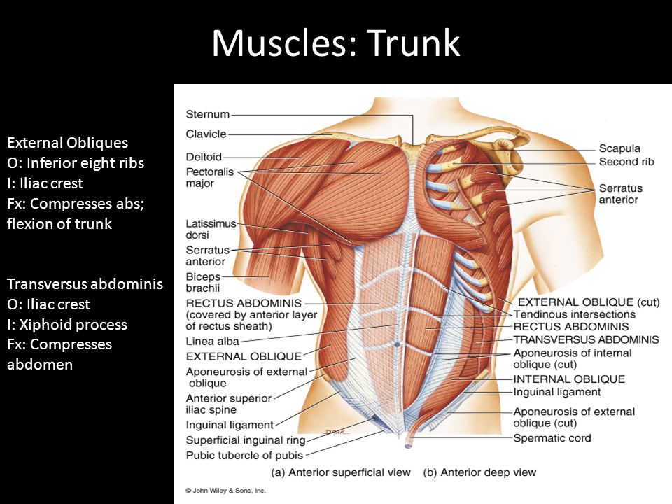 Muscles: Trunk External Obliques O: Inferior eight ribs I: Iliac crest