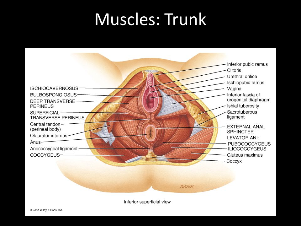 Muscles: Trunk