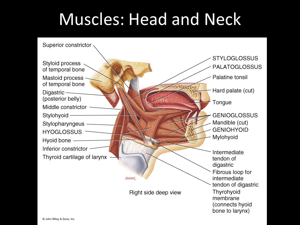 Muscles: Head and Neck