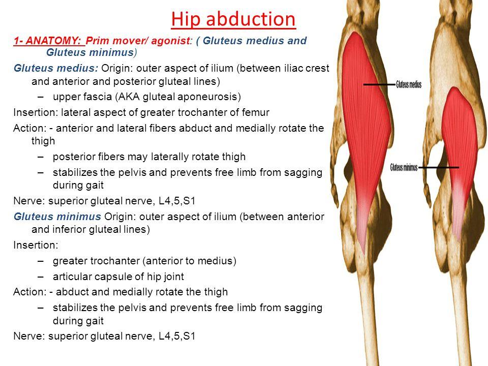 Hip abduction 1- ANATOMY: Prim mover/ agonist: ( Gluteus medius and Gluteus minimus)