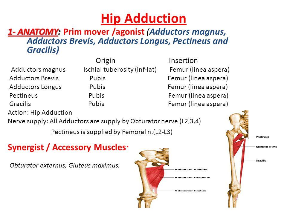 Hip Adduction 1- ANATOMY: Prim mover /agonist (Adductors magnus, Adductors Brevis, Adductors Longus, Pectineus and Gracilis)