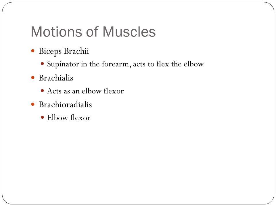 Motions of Muscles Biceps Brachii Brachialis Brachioradialis