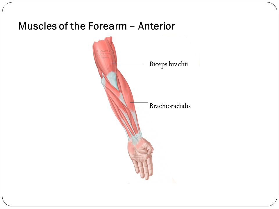 Muscles of the Forearm – Anterior