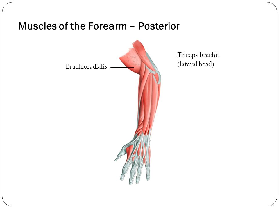 Muscles of the Forearm – Posterior