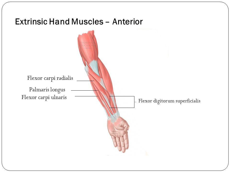 Extrinsic Hand Muscles – Anterior