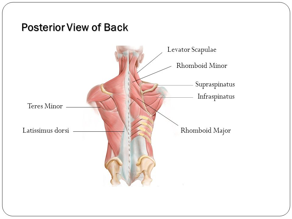 Posterior View of Back Levator Scapulae Rhomboid Minor Supraspinatus