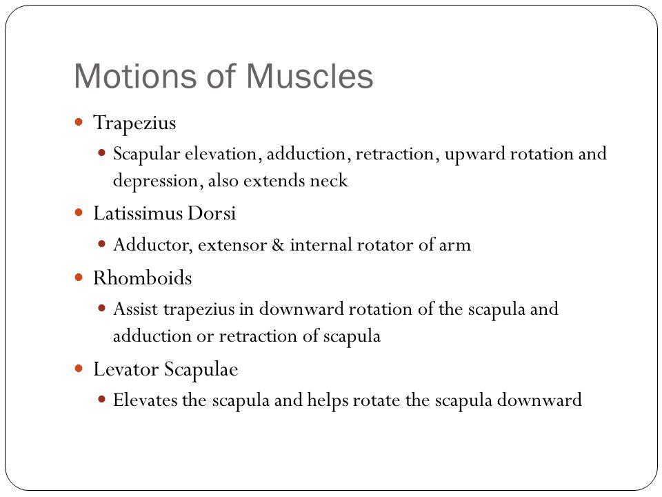 Motions of Muscles Trapezius Latissimus Dorsi Rhomboids