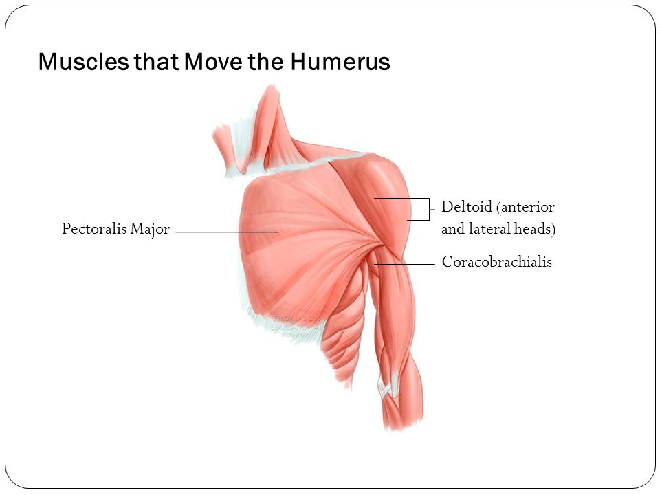 Muscles that Move the Humerus