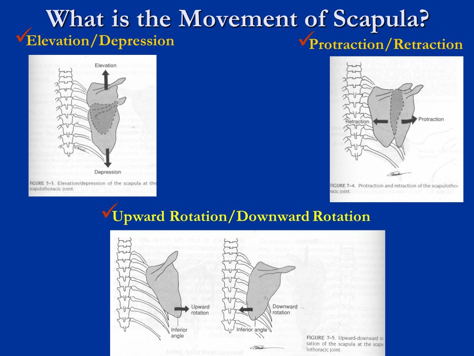 What is the Movement of Scapula
