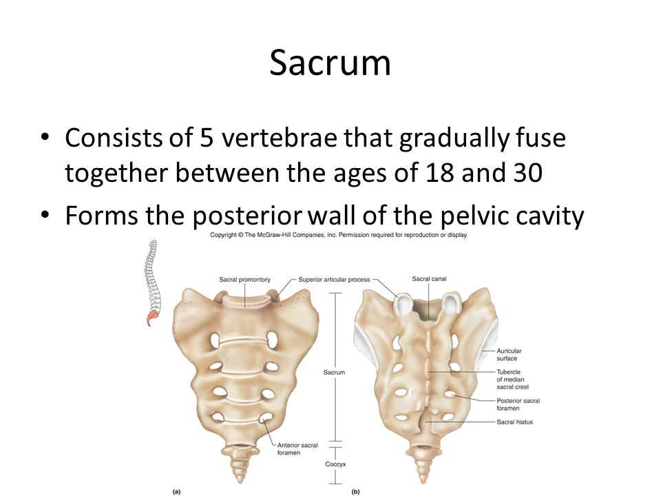 Sacrum Consists of 5 vertebrae that gradually fuse together between the ages of 18 and 30.