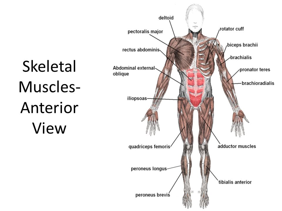 Skeletal Muscles- Anterior View
