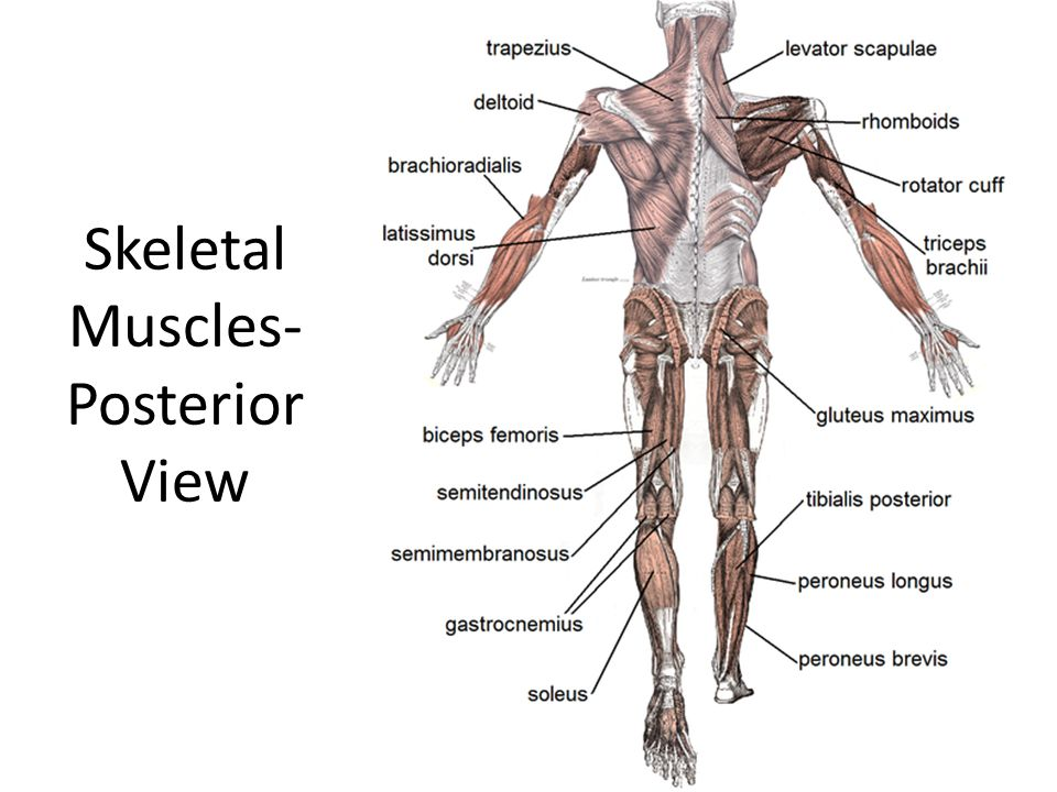 Skeletal Muscles- Posterior View