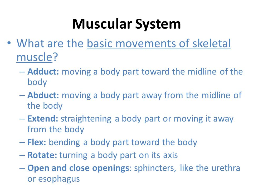 Muscular System What are the basic movements of skeletal muscle