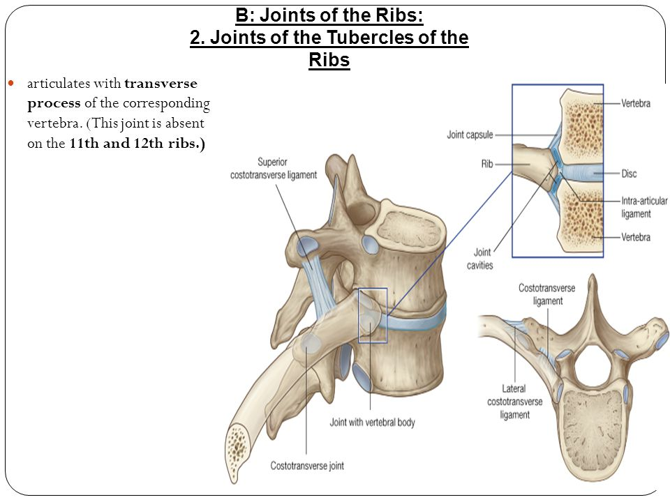 2. Joints of the Tubercles of the Ribs