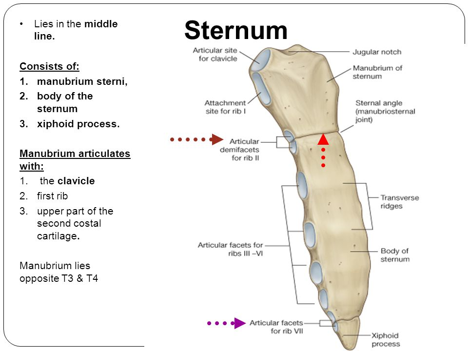 Sternum Lies in the middle line. Consists of: manubrium sterni,