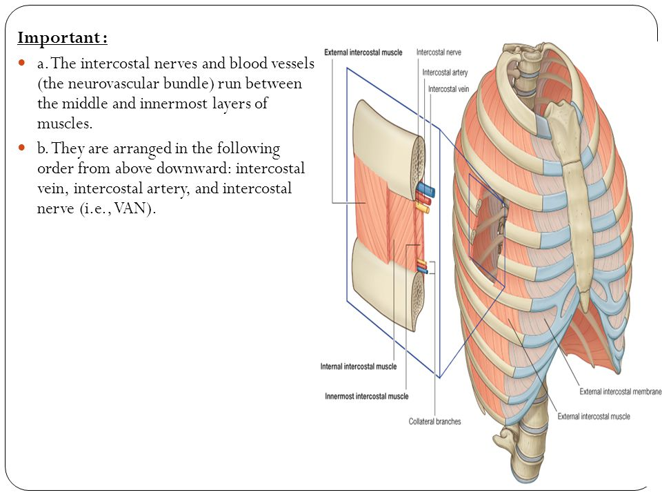 Important : a. The intercostal nerves and blood vessels (the neurovascular bundle) run between the middle and innermost layers of muscles.