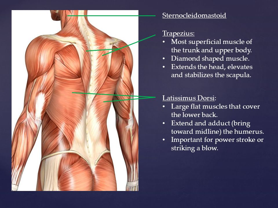 Sternocleidomastoid Trapezius: Most superficial muscle of the trunk and upper body. Diamond shaped muscle.