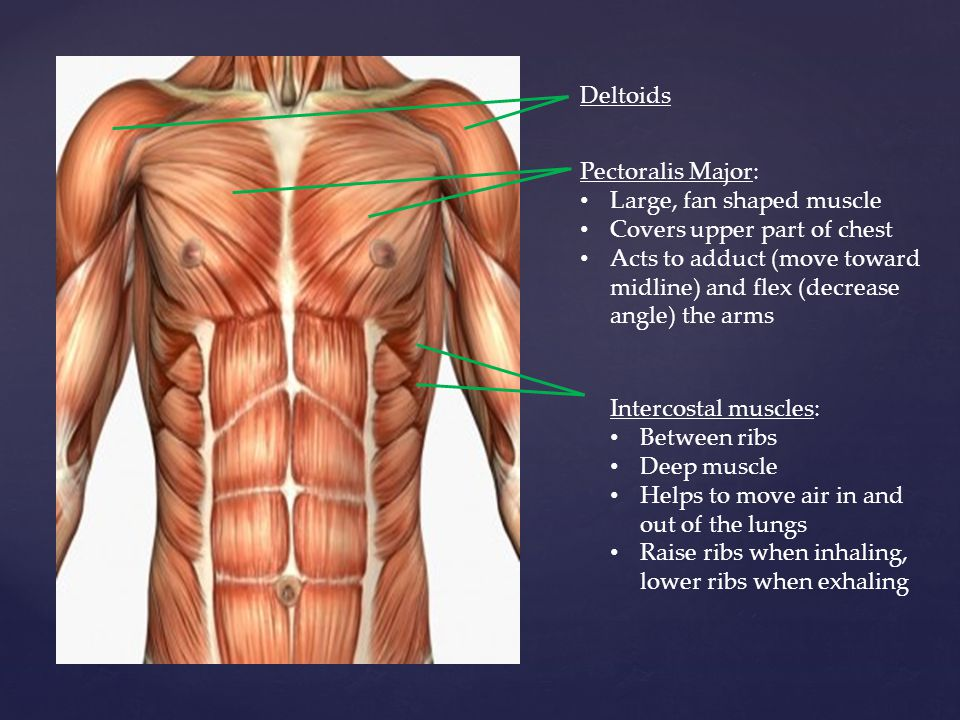Deltoids Pectoralis Major: Large, fan shaped muscle. Covers upper part of chest.