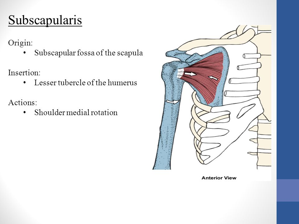 Subscapularis Origin: Subscapular fossa of the scapula Insertion: