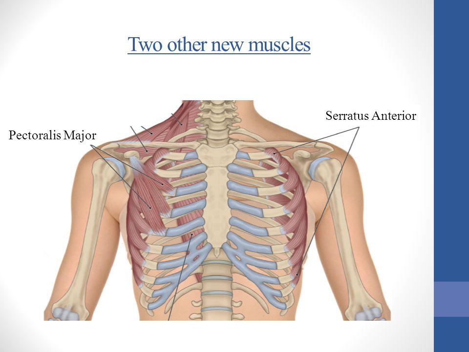Two other new muscles Serratus Anterior Pectoralis Major