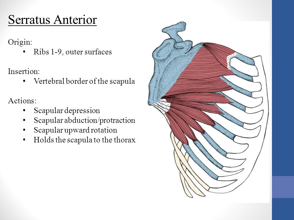 Serratus Anterior Origin: Ribs 1-9, outer surfaces Insertion: